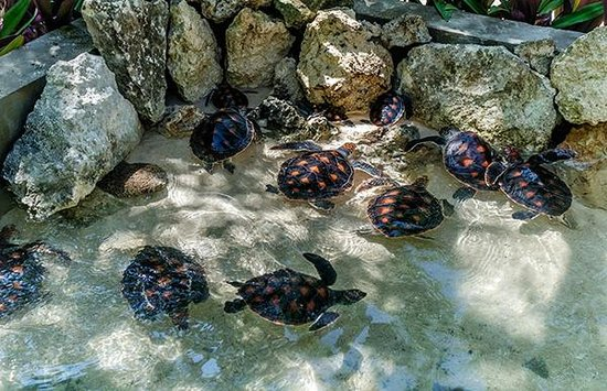 Wakatobi Dive Resort: Hatchlings feed and grow in one of the holding tanks at Wakatobi's turtle nursery.