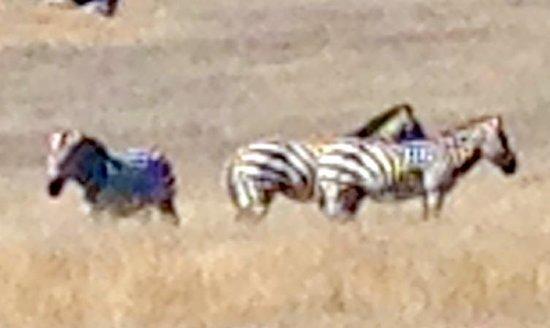 Zebras Hearst Castle, San Simeon, Ca