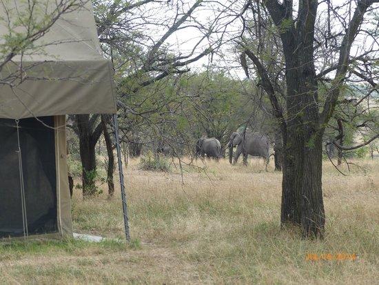 Olakira Camp, Asilia Africa: Elephants in camp