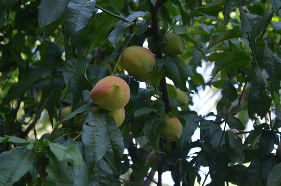 SunConnect Kolymbia Star: fruit trees in the grounds