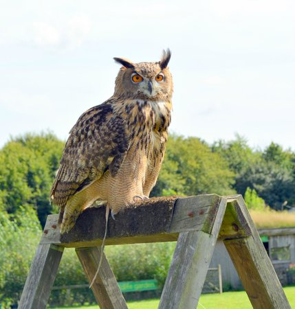 Rare Breeds Centre: Owl awaiting instructions from Handler