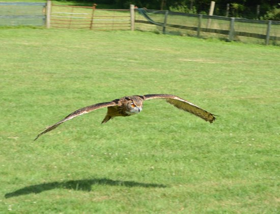 Rare Breeds Centre: Low flying Owl
