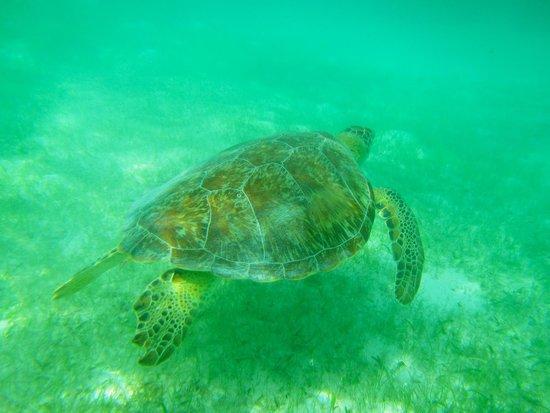 Plage d'Akumal: turtle