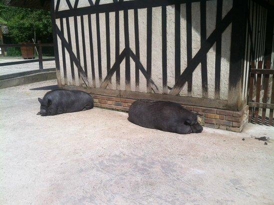 Jardin d'Acclimatation: Les cochons vietnamiens