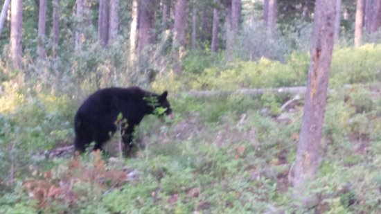 Jackson Hole Eco Tour Adventures: Black Bear in GTNP