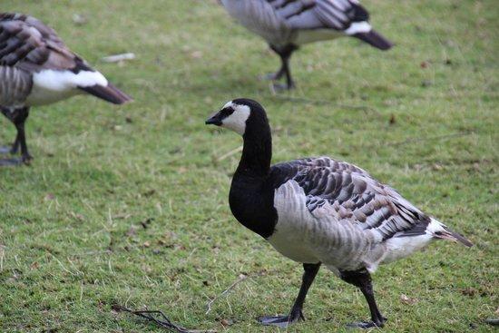 Musée de plein air de Skansen : water fowl running free