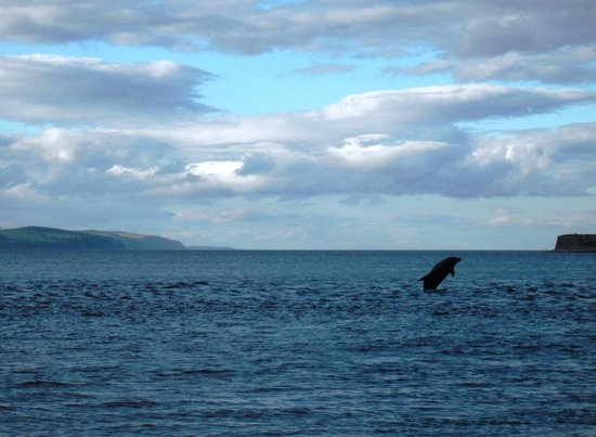 Chanonry Point : Leaping dolphin!