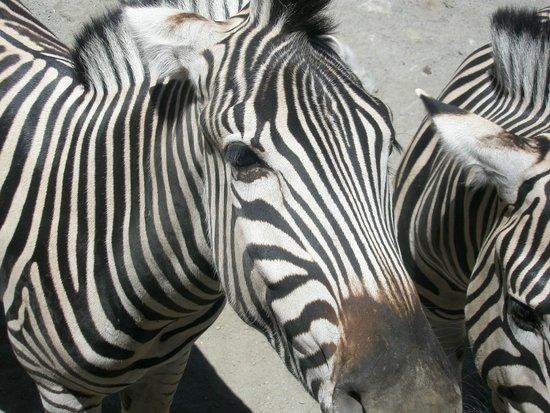 Selwo Aventura: zebres