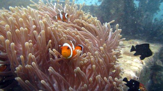 Super Divers: Clown fish