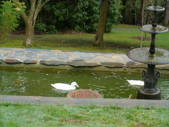 Brentwood Accommodation: Ducks in the pond