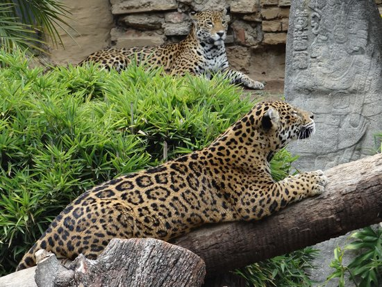 La Aurora Zoo: Two beautiful leopards