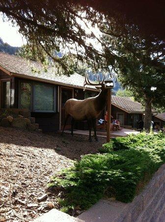 McGregor Mountain Lodge: Little Boy, resident elk