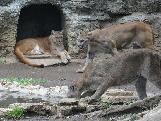 La Aurora Zoo: 3 Cougars!