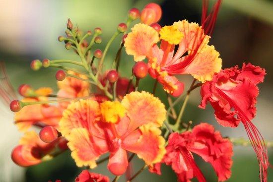 Tipple Tree Beya: Flowering shrub