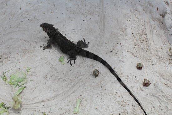 Renaissance Aruba Resort & Casino: Iguana