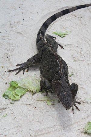Renaissance Aruba Resort & Casino: Iguanas