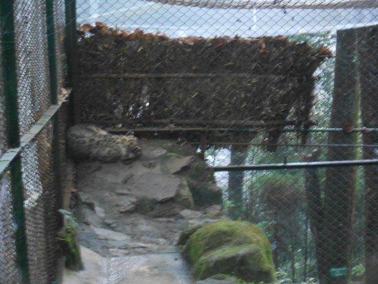 Padmaja Naidu Himalayan Zoological Park : Siberian tiger