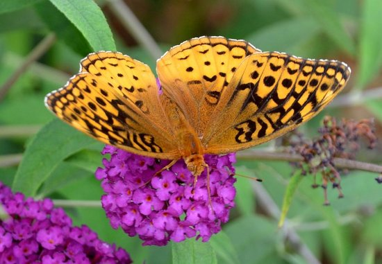 Skyline Vineyard Inn: Many Butterflies at the Inn