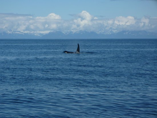 "Alaska's Kodiak Island Resort: A pod of Orcas that ""followed us"" - was about 15 in all"