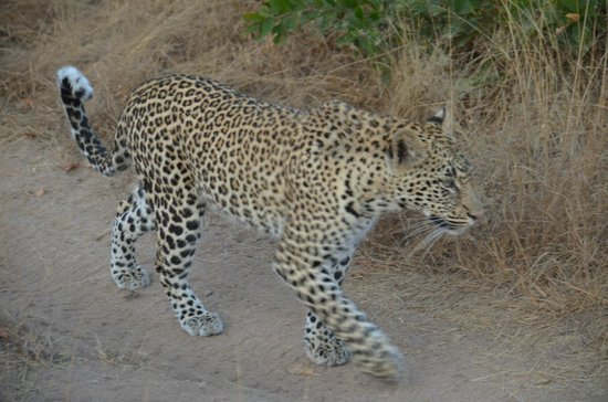 "Londolozi Private Game Reserve : Talk about ""just walk on by!"""