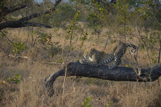 Londolozi Private Game Reserve : Just a little stretch before I lay down!