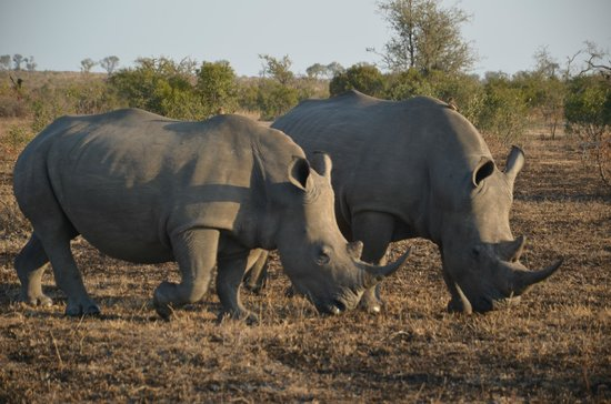 Londolozi Private Game Reserve : Why are they called White Rhino...check out the long face!!