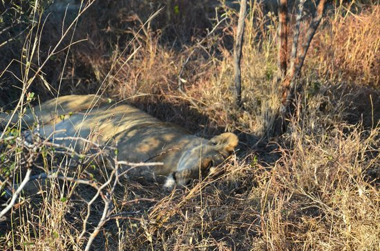 Londolozi Private Game Reserve : Just lying down on the job.