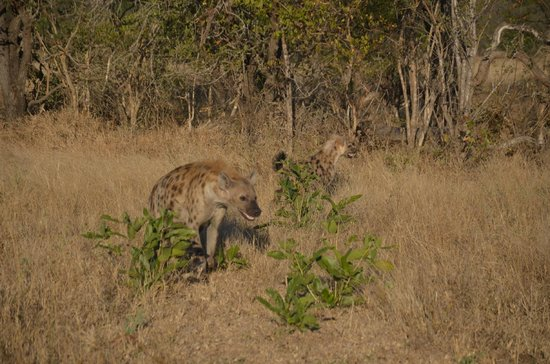 Londolozi Private Game Reserve : Bloody jackals...