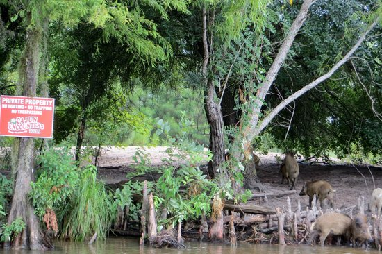 Cajun Encounters : Hog wild in the swamp