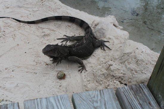 Renaissance Island: Iguanas