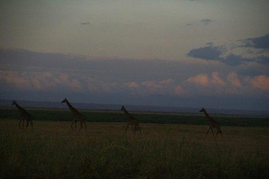 Explorer Kenya: Giraffe