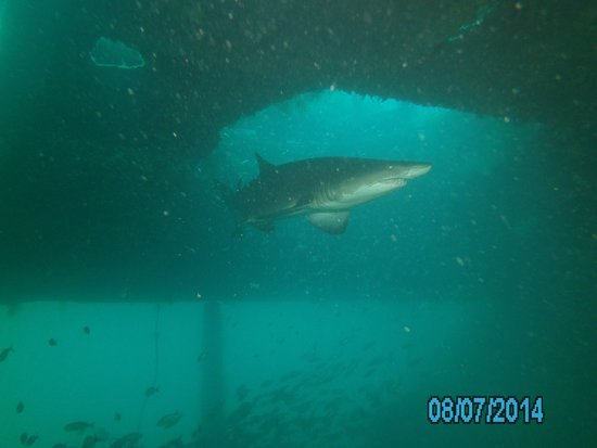 Olympus Dive Center: Sand tiger in Aeolus shipwreck
