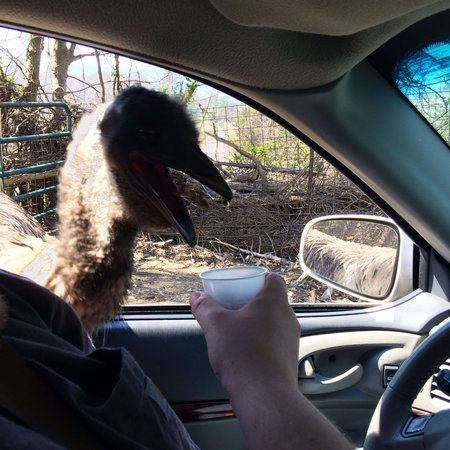 Harmony Park Safari: Friendly animals pop their heads right in the car!