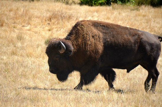 Wildlife Safari: The Safari includes a number of American Bison on rolling hills.