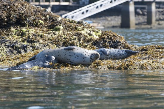 Pacifica Paddle Sports Day Tours : Seal nursing her young