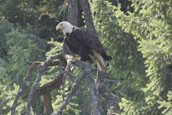 Pacifica Paddle Sports Day Tours : Bald Eagle in Tod Inlet