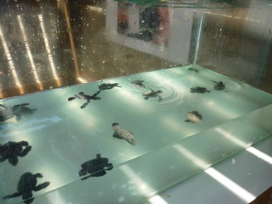 Lara Beach: Baby turtles being looked after by the conservation project