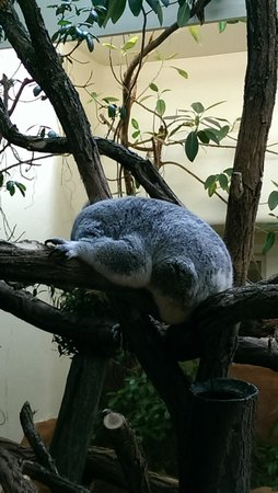 Tiergarten Schoenbrunn - Zoo Vienna: Koala