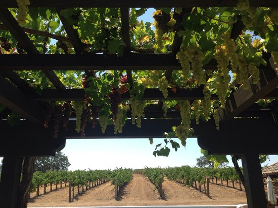 Gainey Vineyard: The grapes