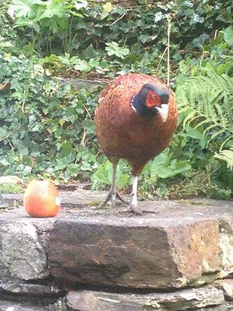 Craik Na Dav B & B: Pheasant in the garden