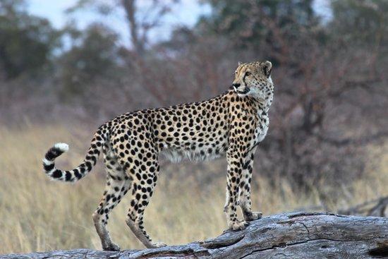 Lagoon Camp - Kwando Safaris: Gepard bei der Pirschfahrt