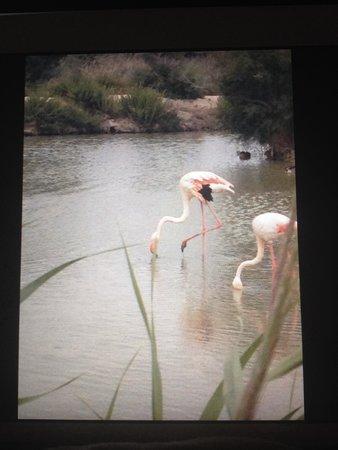 Le Parc Ornithologique de Pont de Gau : Encore des flamands