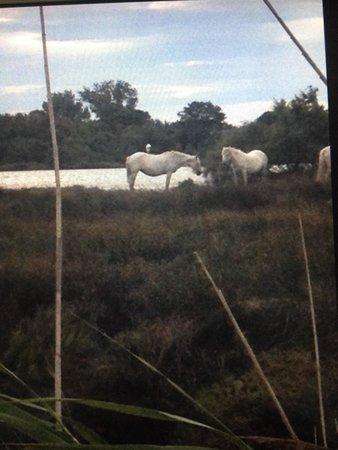 Le Parc Ornithologique de Pont de Gau : Des chevaux