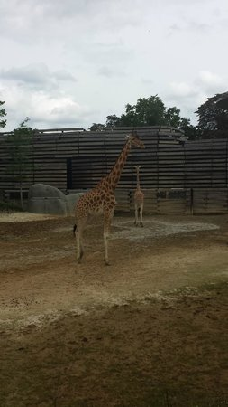 Parc Zoologique de Paris: Girafe