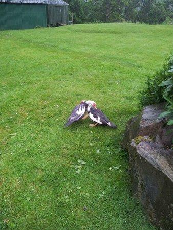 Ardgarry Farm: Ducks