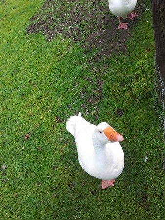 Ardgarry Farm: Goose