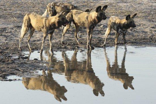 Lebala Camp - Kwando Safaris: Wildhunde am Wasserloch