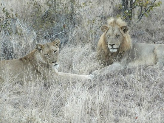 Gomo Gomo Game Lodge : to see the lions was definitely worth the long drive