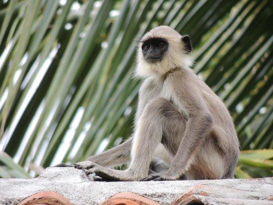 Palm Paradise Cabanas: Affe