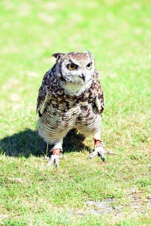 Falconry Experience Wales: owl